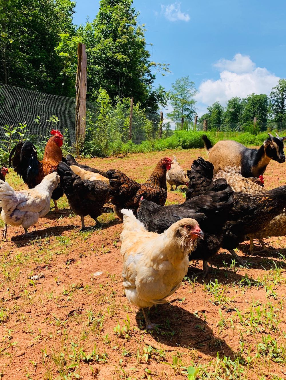 chickens at the farm on Riverstead